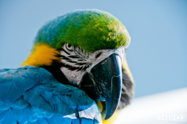 Blue Throated Macaw I