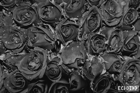 Steely Roses