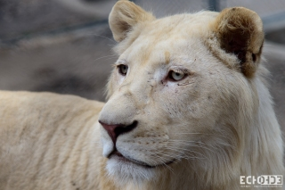 White lion, from the Belgrade zoo