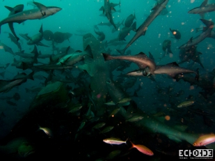 ECHOs - Beqa Lagoon - Fiji -_-3