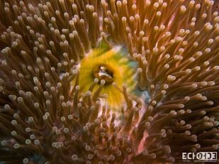 ECHOs - Beqa Lagoon - Fiji -_-4
