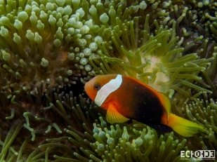 Cinnamon Clown Fish