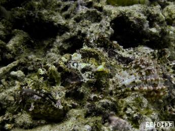 Crocadile Fish