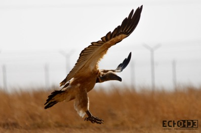 White-backed Vulture - Coming in for a landing