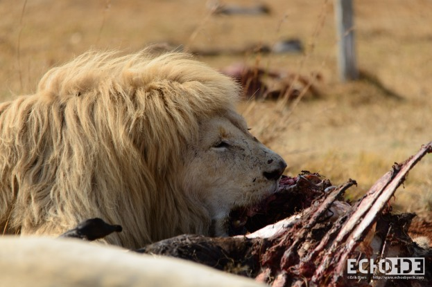 White Lion chowing down