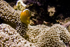 Skunk-striped Anemonefish (Amphiprion akallopisos)
