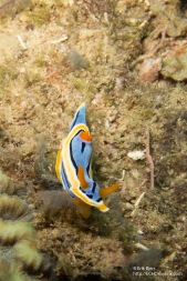 Chromodoris striatella