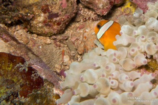 Skunk / Rose Clownfish (Amphiprion nigripes)