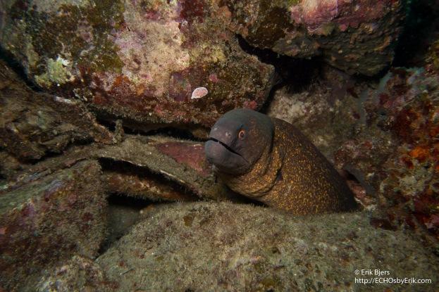 Masked Moray Eel