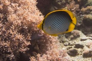 Butterfly Fish ( Chaetodon melannotus)