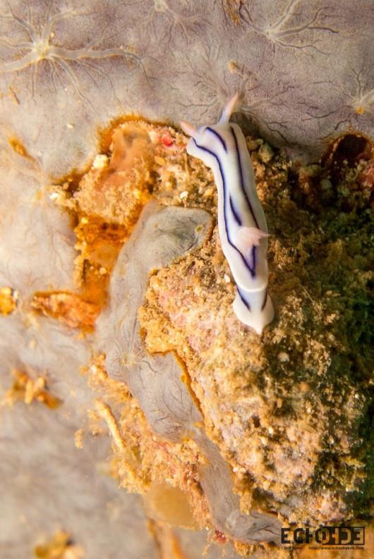 Nudibranch (Chromodoris striatella)