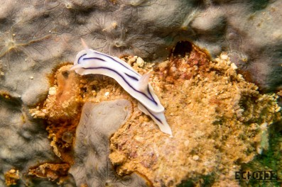 Nudibranch (Chromodoris striatella)