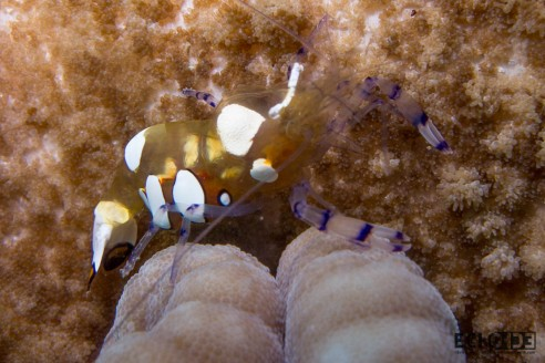 white spotted anemone shrimp