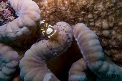 white spotted anemone shrimp
